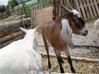 Бизнес-идея: Частное разведение коз